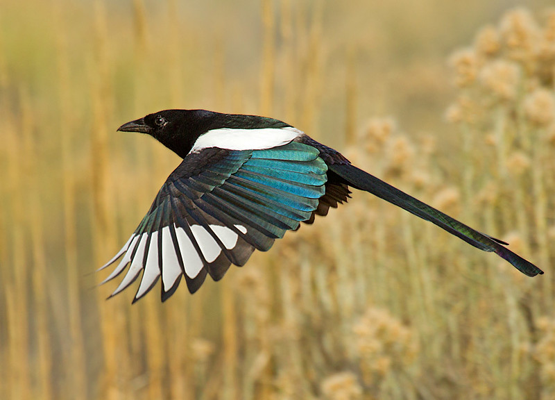 Black billed Magpie in Flight