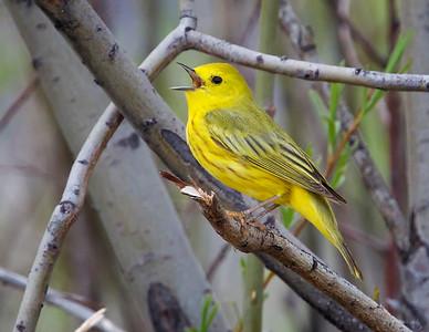 Yellow Warbler, still singing
