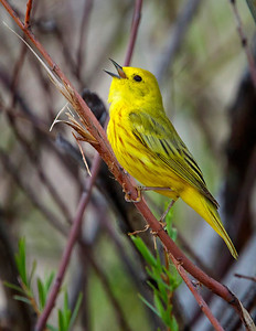 Yellow Warbler, singing