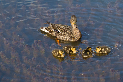 Mallard Female and ducklingsMG_1454