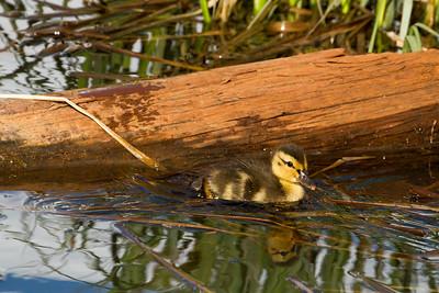 Mallard DucklingMG_1472