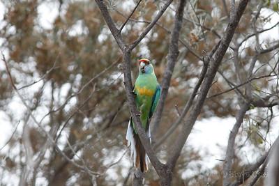 Australian (Mallee) Ringneck
