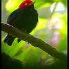 Red-capped manakin (Ceratopipra mentalis)