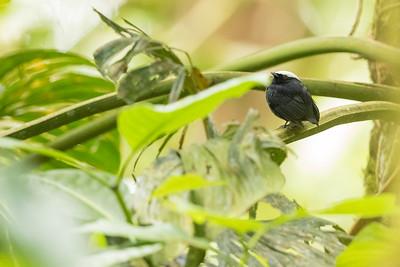 Blue-rumped Manakin - Record - Sumaco, Ecuador