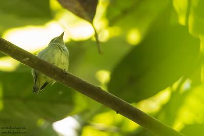 Dwarf Tyrant-Manakin - Record - Amazon, Ecuador