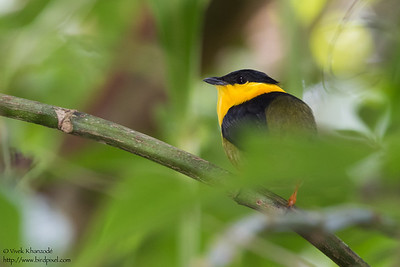 Golden-collared Manakin - Gamboa, Colon, Panama