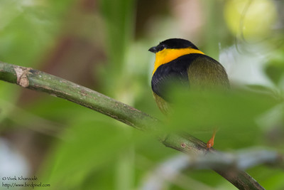 Golden-collared Manakin - Gamboa, Colon, PA