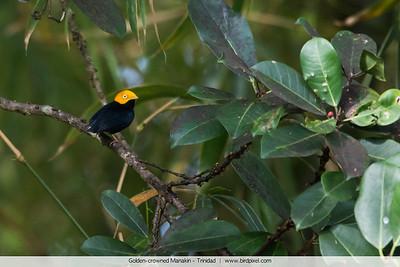 Golden-crowned Manakin - Trinidad