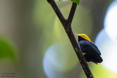 Golden-headed Manakin - Ecuador