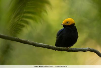 Golden-headed Manakin - Peru