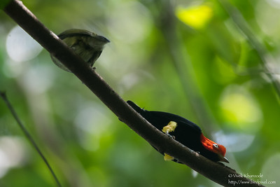 Red-capped Manakin - Record - Barro Colorado Island, Panama