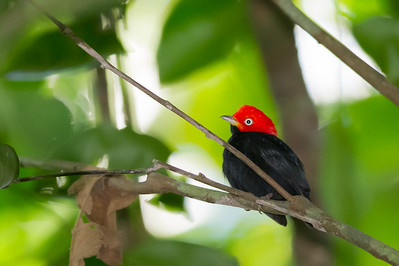 Red-capped Manakin - Osa, Costa Rica