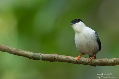 White-bearded Manakin - Male - Asa Wright Nature Center, Trinidad
