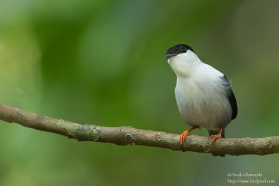 White-bearded Manakin - Male - Asa Wright Nature Center, Trinidad