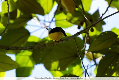 White-collared Manakin - Cartago, Costa Rica