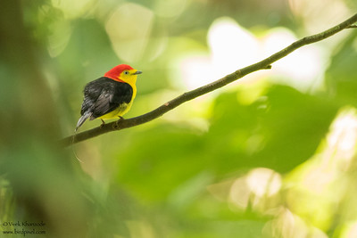 Wire-tailed Manakin  - Amazon, Ecuador