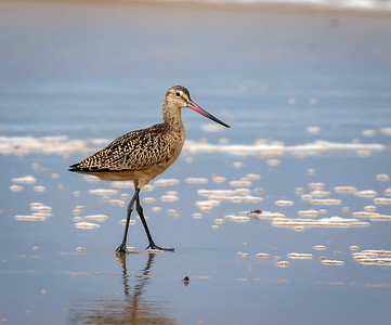 Marbled Godwit Out for a Stroll