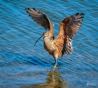 Marbled Godwit Wings Up