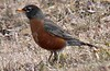 Robin with question mark.  March 12 Long Road