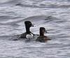 Ring-necked Ducks in Great Quittacas Pond