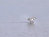 Piping Plover at Allen's Pond