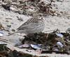Ipswich subspecies? of Savannah Sparrow at Town Beach