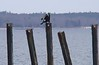 Great Cormorant checking out his hip patch that matches the holes in the pilings.