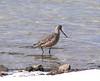 Marbled Godwit on the snowy beach