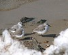 Sanderlings through the snow