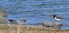 Oystercatchers at Hoppy's Landing on West Island Causeway