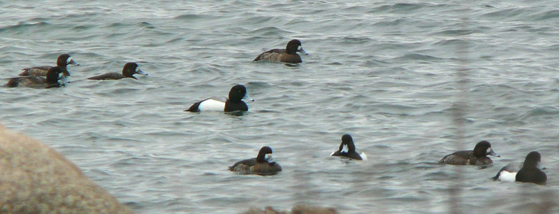 Greater (prob) Scaup at West Island