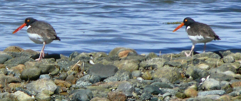 March 12 -- Oystercatchers at Winsegansett......they were spotted on West Island on March 8