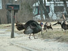 Turkeys in Wareham... 3 toms and 3 hens