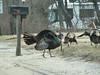 Turkeys in Wareham... 3 toms and 3 hens