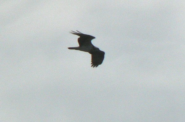 Osprey at Shaw's Cove