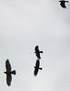 Crows chasing a hawk