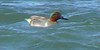 Green-winged Teal!