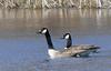 Canada Geese at Long Road