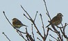 Yellow-rumped Warbler and Song Sparrow