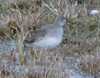 Lesser Yellowlegs ?