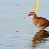 Virginia Rail @ Glacier Ridge MP - August 2011