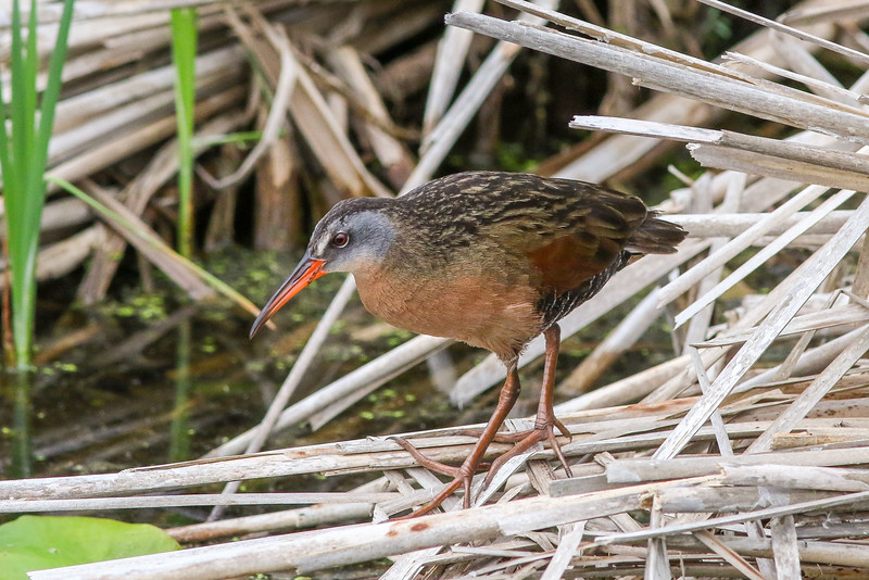 Virginia Rail - Presque Isle County, MI, May 2016
