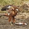 Marsh Harrier זרון סוף