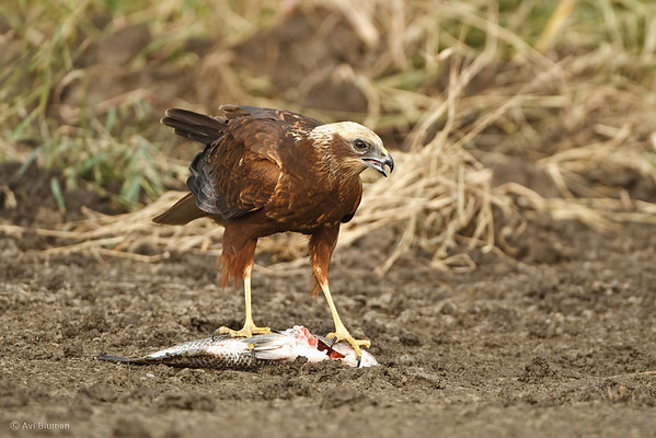 Marsh Harrier זרון הסוף