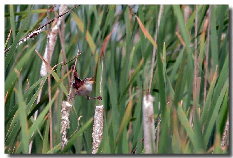 5-27-06 Marsh Wren