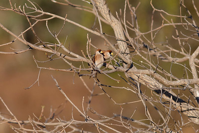 Masked Finches