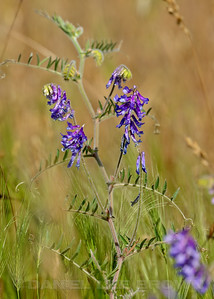 Vetch, Mather Regional Park, 5-13-14. Cropped image.