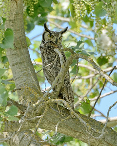 Great Horned Owl, Mather Regional Park, 5-7-14. Cropped image.