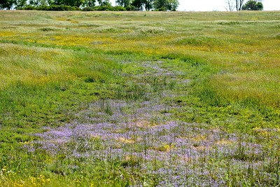 Vernal Pool, Mather Regional Park, 5-7-14. Cropped image.