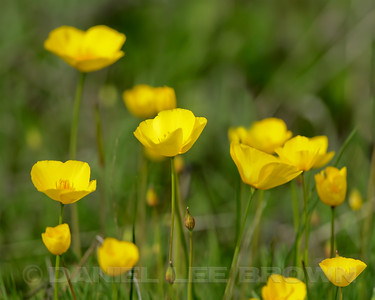 Lobe's Poppies, Mather Regional Park, 4-3-14. Cropped image.